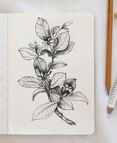 Jasmine, line drawing