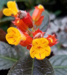 """Chrysothemis pulchella 'Black Flamingo' is an exotic Gesneriad native to the Caribbean. This bronze form goes by the common names of 'Black Flamingo', """"Sunset Bells"""", or """"Copper Leaf"""