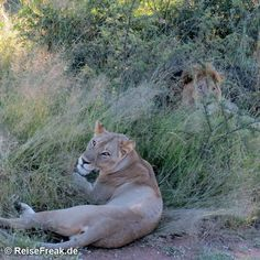 Über Instagram hier eingefügt #Mongena #GameLodge http://ift.tt/1ZNAWt1 - Malariafreie #Wildreservate in #südafrika #dinokeng #southafrica #malariafree #gamereserves #wb1001rb #wbesaesa @south_africa_through_my_eyes #wbpinsa #safari #photographicsafari #urlaub #holiday #photooftheday #reisen #afrika #africa #travelblogger #germanbloggers #reiseblogger #safarilive #safarilodge #malariafreesafari #gamereservesouthafrica #africa_nature #nature_africa