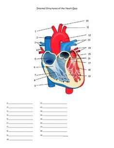 Quiz covering the basic internal structures of the heart. There are 19 structures to identify. A word bank and answer key is included. Biology Art, Biology Lessons, Medical Coding, Medical Art, Heart Anatomy Quiz, Anatomy And Physiology Quiz, Heart Structure, Human Digestive System, History Classroom