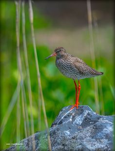 Redshank on a rock by Maurizio Di Renzo on 2 In, Birds, Extinct, Rock, Dinosaurs, Pictures, Animals, Collection, Europe