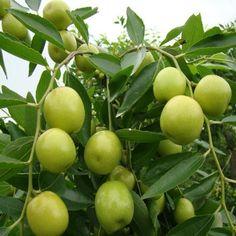 Hasil gambar untuk buah bidara
