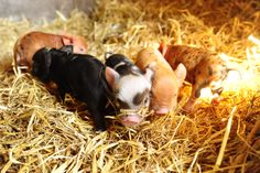 Hogwarts's Kunekunes - Hobby Breeder of rare Kunekune pigs - Small scale breeder of rare Kunekune pigs