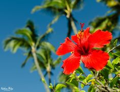 Pretty as a Postcard, Red Hibiscus | Hawaii Pictures of the Day