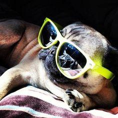 "mugsofpugs: ""My future's so bright I need shades."""