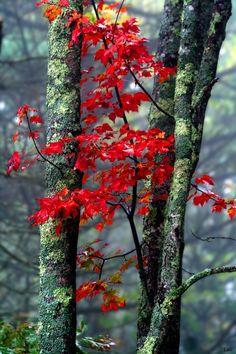 Autumn + Japanese Maple = forest beauty