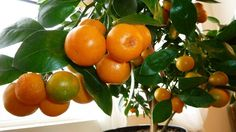 Домашний мандарин из косточки: от А до Я. Уход и выращивание в домашних условиях. Фото - Ботаничка.ru