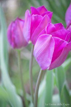 Tulips in my garden www.lacucinadellacapra.wordpress.com