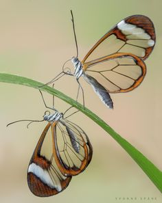 ˚Glasswinged Butterflies (Greta oto)