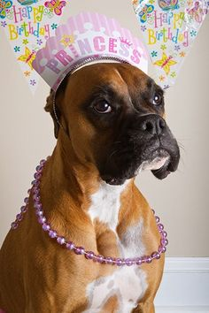 Kloe's 2nd Birthday_Portrait #3  #boxer #fawn #dog #portrait #birthday #serious #princess #pink #funny