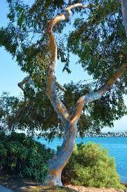 68 Best Rainbow Eucalyptus Images Rainbow Rainbow