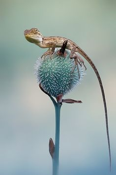 The Lizard by Iwan Pruvic
