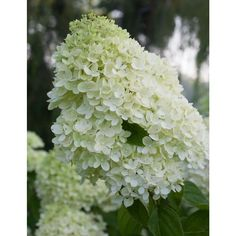 Proven Winners 3 Gal. Little Lime ColorChoice Hardy-HYDPRC1073135 - The Home Depot
