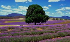 If your visiting Tasmania, Australia between December and January then you must see the lavender fields at Bridestowe Lavender Estate. Beautiful Dream, Beautiful World, Beautiful Places, Amazing Places, Beautiful Pictures, Places To Travel, Places To See, Travel Destinations, Helichrysum Italicum