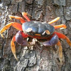Gecarcinus quadratus, known as the red land whitespot halloween moon crab, halloween moon crab, mouthless or harlequin land is a colourful land crab from the family Gecarcinidae. Halloween Crab, Halloween Week, Nosara, Crab Species, Crab And Lobster, Skeletal System, Systems Biology, Earthworms, Marine Life