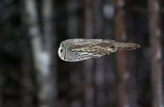 Cool...! Like a bullet. Flying owl