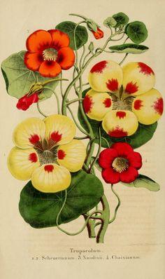 Vol.6 (1856) - Belgique horticole. - Biodiversity Heritage Library. Antique botanical illustration.