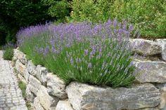 Modern garden with lavender - Garden Design Natural Farming, Lavender Garden, Walled Garden, Modern Garden Design, Family Garden, Organic Gardening Tips, Garden Pictures, Garden Care, Plantar