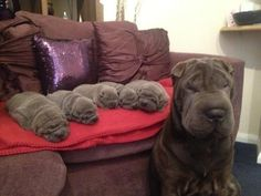 These cuddly shar-pei puppies who are SO SQUISHABLE. | The 23 Most Adorable Puppies Of 2013