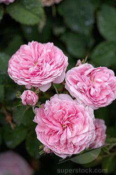 Centifolia Rose - Petite de Hollande