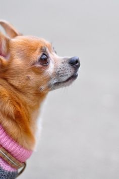 sandicast chihuahua | 1000  images about chihuahuas on Pinterest | Baby chihuahua, Chihuahua ...