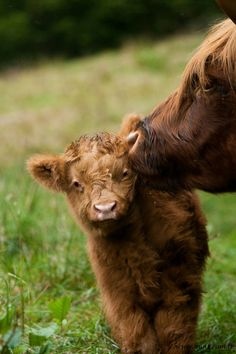 Highland Cattle: Mom gives her calf some tender loving care. Cute Baby Animals, Farm Animals, Animals And Pets, Wild Animals, Fluffy Cows, Baby Cows, Baby Elephants, Elephant Baby, Highland Cattle