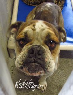 ADOPTED --- A4738914 my name is Chucha. I am a very sweet and loving 1.5 yr old female tan/white American Bulldog mix. My owner left me here on Feb 19. available now Baldwin Park shelter  https://www.facebook.com/photo.php?fbid=927643847247453&set=pb.100000055391837.-2207520000.1424553776.&type=3&theater