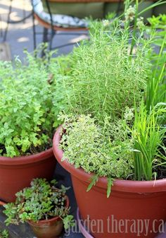 How to grow herbs in containers (via www.GardenTherapy.ca)