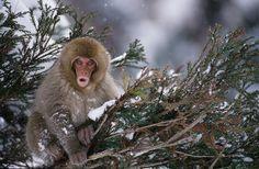 https://flic.kr/p/cK43KL | Juvenile snow monkey (Macaca fuscata) | Nagano Prefecture, Honshu, Japan