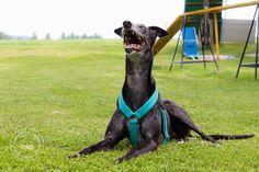 Basic sighthound harness « Galgina – Handmade dogwear