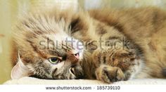brown tricolor female of siberian cat on @Shutterstock