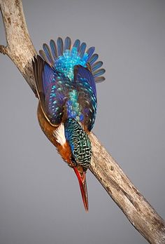 The Common Kingfisher, Alcedo atthis - photo by J van noorwvk