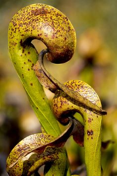 Darlingtonia californica, California Pitcher Plant or Cobra Lily, Six Rivers National Forest, Del Norte County, California.