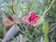 Puutarhanlumossa : frozen flower