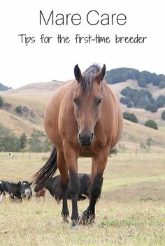 Learn how to prepare your mare for breeding with these horse health tips from an equine veterinarian. Pregnant Horse, Horse Care Tips, Horse Training Tips, American Quarter Horse, Horse Breeds, Horse Love, Animal Quotes, Horseback Riding, Pet Care