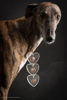 Greyhounds have very big hearts.