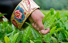 Une fille cueille des feuilles de thé à la Plantation de thé de Yi'ong, dans le district de Bomi de la région autonome du Tibet
