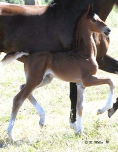 This South Africa Saddle Horse foal already has the moves!