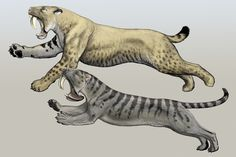 "Smilodon and Thylacosmilus, an example of convergent evolution illustrated by Carl Buell.    ""Under certain conditions, two lineages will evolve into very similar-looking forms. The top animal is a saber-toothed cat, related to lions and tigers. The bottom one is a marsupial, more closely related to kangaroos and opossums."""