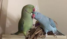 This awesome video will melt your heart when you will see and listen to the two Indian Ring neck parrots were talking with each other. Fabio and Gabriel ar