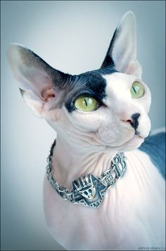 Sphinx cat....what I will have to get to please hubby!!! Lol!!!