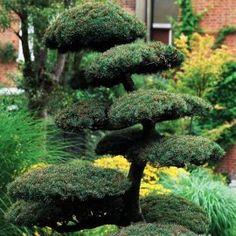 Pinus nigra  Acheter Vos Arbres chez le spécialiste du Jardin Zen français . ART Garden www.art-garden.fr