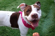 DUCKY - A1112323 - - Manhattan  TO BE DESTROYED 05/31/17  A volunteer writes: I found Ducky curled up on her bed in her kennel, and not quite sure she wanted to venture out on this terribly hot day. It didn't take much persuading, and out she came. A short walk in the street, and we both decided the back yard might be cooler. Happy off leash, she sat for photos, giving me a chance to admire her gorgeously clean and well groomed caramel and white coat. While she enjoye