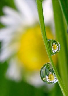 Daisies on Dewdrops botanical print by Alan Bryant