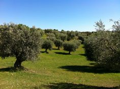 How To Plant Olive Trees