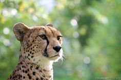 Cheetah Profile by Gary Brookshaw on 500px