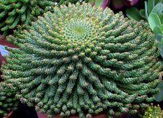 Euphorbia falaganii