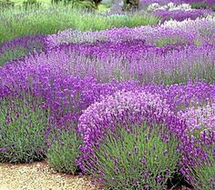 Add drought-tolerant, useful lavender to the garden