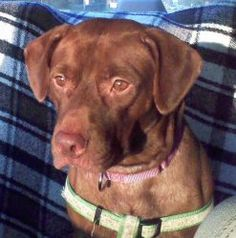 Cheyenne is an adoptable Labrador Retriever Dog in Gainesville, FL. Cheyenne is a laid back girl who has a sweet personality. She lives with a working family and she is fine to be left alone for a re...