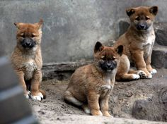 Baby Dingos. I want one!